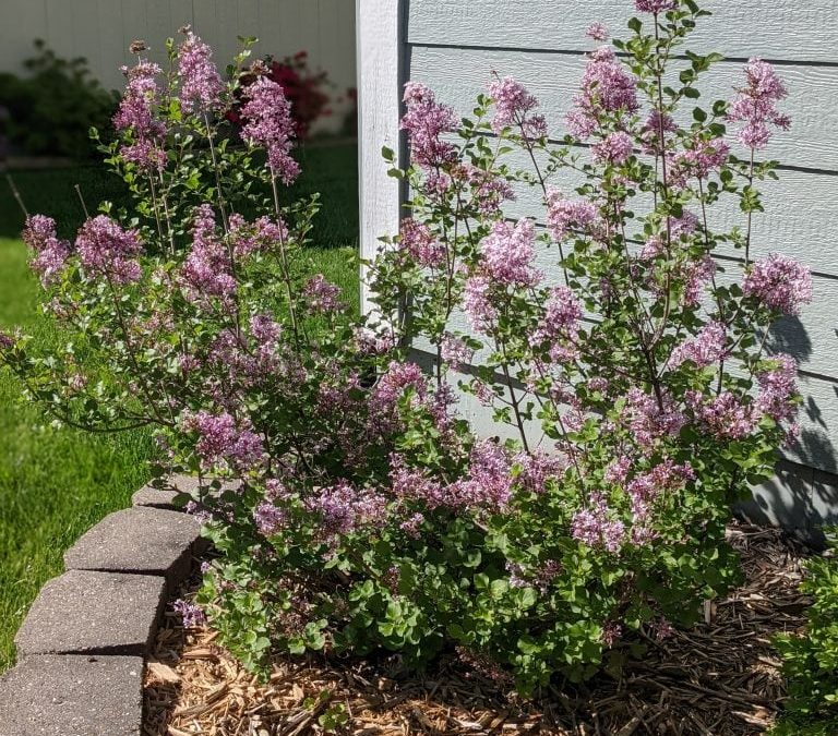 How to Make Lilac Simple Syrup Using Fresh Flowers