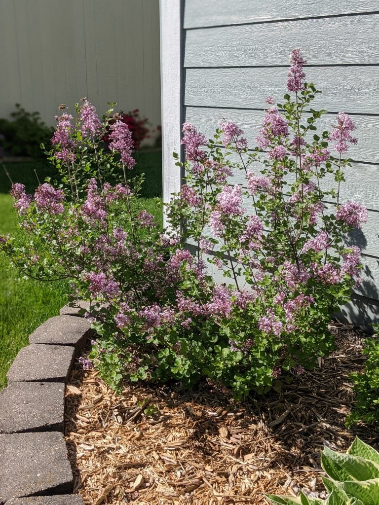 source of flowers for my lilac simple syrup